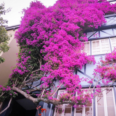 Bougainvilleas on Lombard Street,  San Francisco/ Chicago/Bottom